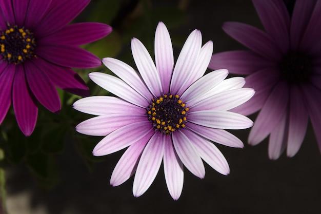 Purpurowy Kwiat Stokrotka Euryops Darmowe Zdjęcia