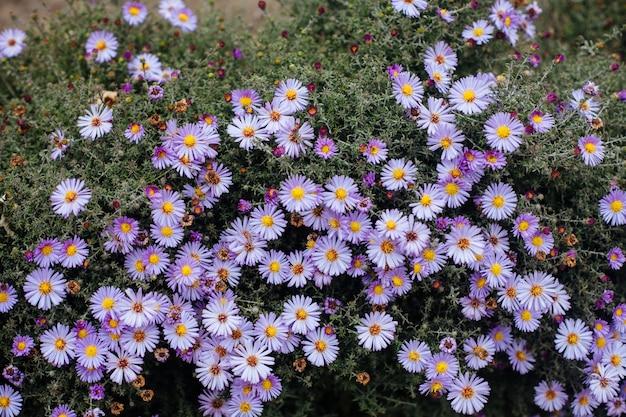 Purpurowych jesień kwiatów zamknięty up Premium Zdjęcia