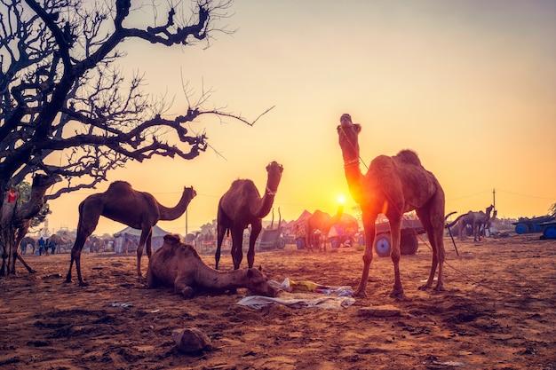 Pushkar Mela Wielbłądzi Uczciwy Festiwal W śródpolnym łasowaniu żuć Przy Zmierzchem. Pushkar, Radżastan, Indie Premium Zdjęcia