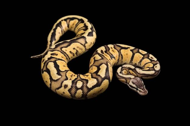 Python Ball Female. Firefly Morph Or Mutation Darmowe Zdjęcia
