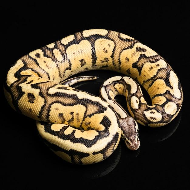 Python Ball Female Darmowe Zdjęcia