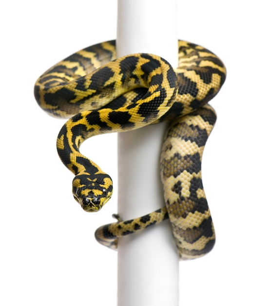 Python Morelia Spilota Variegata Na Słupie Premium Zdjęcia