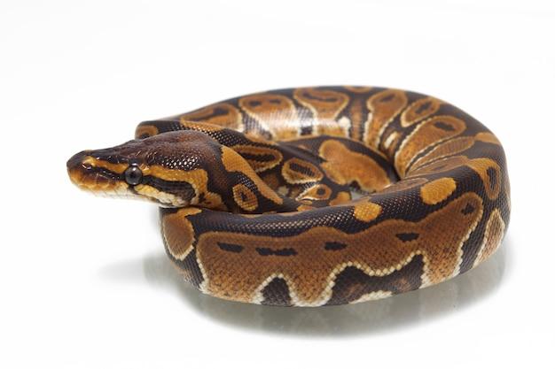 Python Piłka Na Białym Stole Premium Zdjęcia