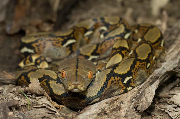 Python Siatkowy Węża (python Reticulatus) Premium Zdjęcia