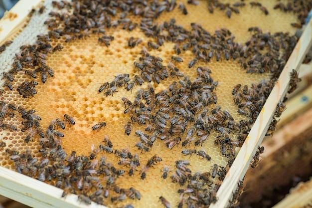 Rama Z Pszczół Miodnych, Zapieczętowanego Czerwia I Miodu. Pracuj W Pasiece. Selektywna Ostrość. Premium Zdjęcia