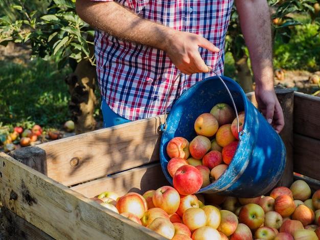 Ręce Człowieka W Zbiorach Czerwonych Jabłek Premium Zdjęcia
