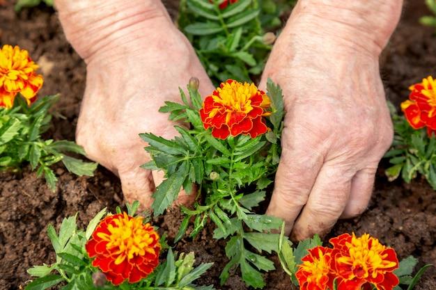 Ręce Starszego Mężczyzny Sadzenia Kwiatów W Glebie Kwietnika. Premium Zdjęcia