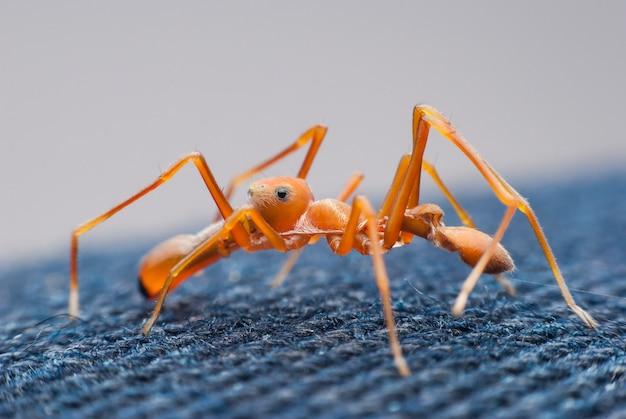 Red Ant Mimic Spider Premium Zdjęcia