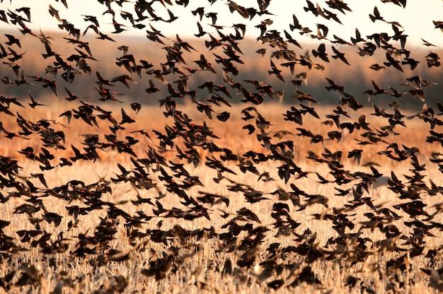 Red-winged blackbirds Premium Zdjęcia