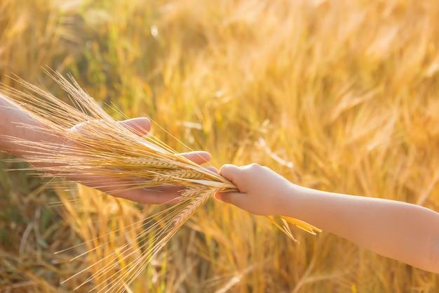 Ręka dziecka i ojca na polu pszenicy. Premium Zdjęcia