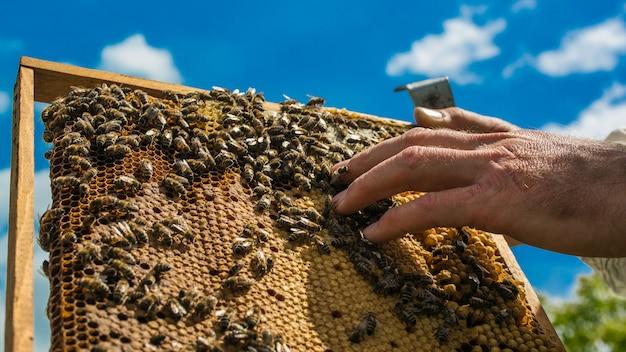 Ręka Pszczelarza Pracuje Z Pszczołami I Ulami Na Pasiece. Pszczoły Na Plaster Miodu. Ramki Ula Pszczół Premium Zdjęcia