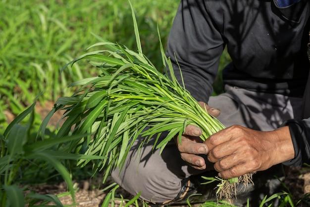 Ręka rolnika, kobieta trzymająca w ręku warzywo i pole ryżowe. Darmowe Zdjęcia