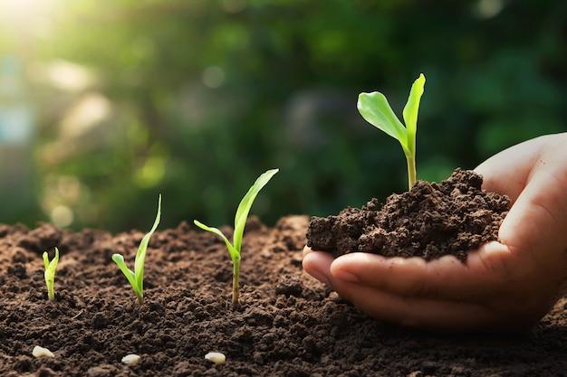 Ręka trzyma młodych kukurydzy do sadzenia w ogrodzie ze wschodem słońca Premium Zdjęcia