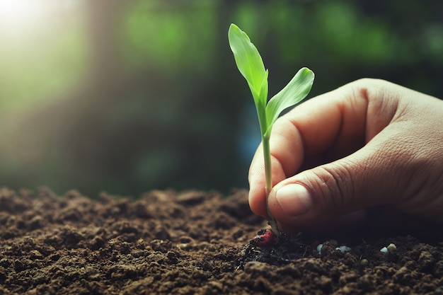 Ręka trzyma młodych kukurydzy do sadzenia w ogrodzie Premium Zdjęcia
