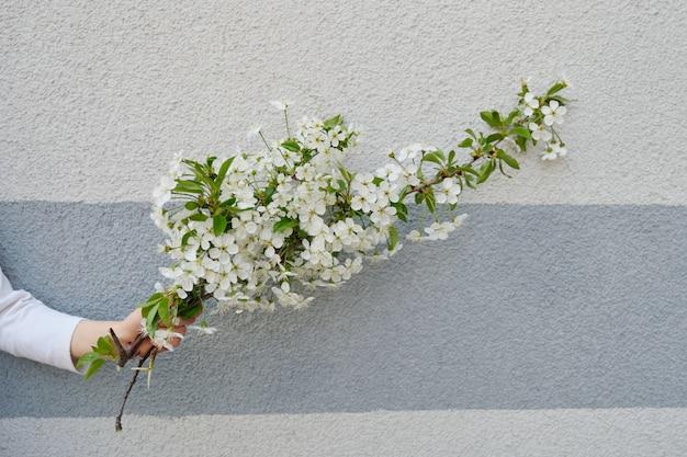 Ręki dziewczyna z białymi kwiatami kwitnie wiśni gałąź, szarości ścienny tło Premium Zdjęcia