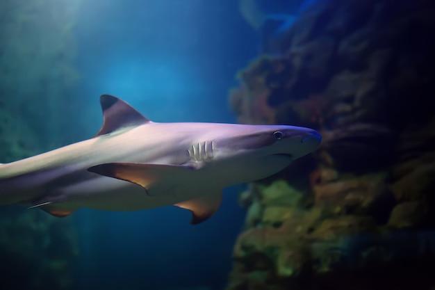 Rekiny rafowe blacktip pływające w wodach tropikalnych nad rafą koralową Premium Zdjęcia