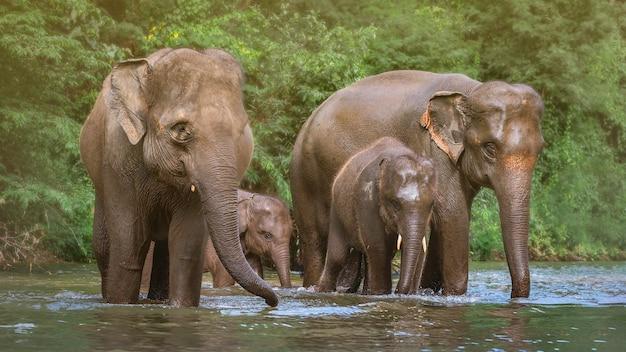 Rodzina Słoni W Wodzie Premium Zdjęcia