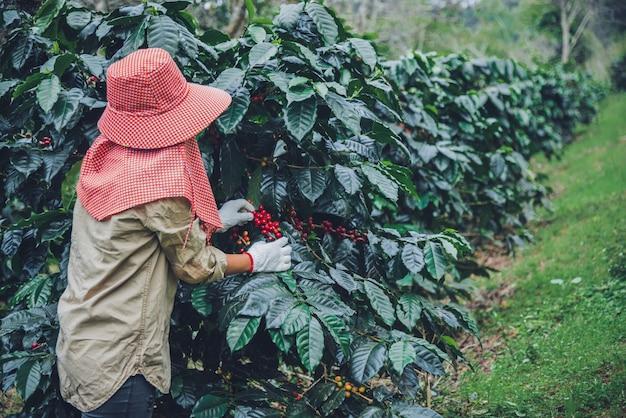 Rolnictwo, kawowy ogródek kawowy z ziarnami kawy, pracownice zbierają dojrzałe czerwone ziarna kawy. Premium Zdjęcia