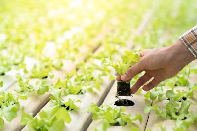 Rolnicy sadzą hydroponiczne sadzonki warzyw na miejscu na szynowych warzywach Premium Zdjęcia
