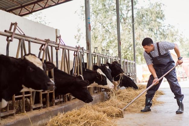 Rolnik karmi krowy. krowa je trawy Premium Zdjęcia