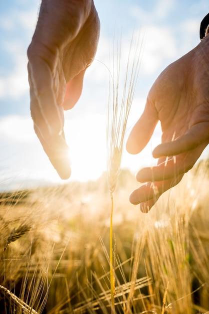Rolnik Obejmujący Dłonie Kłosem Pszenicy Premium Zdjęcia