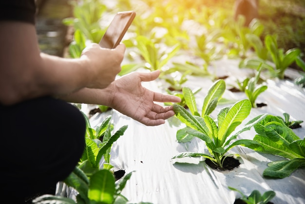 Rolny mężczyzna pracuje w jego organicznie sałaty ogródzie Darmowe Zdjęcia