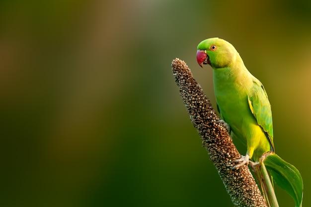 Rose Papuga Długoogonkowa Jedzenie Ziaren Na Rośliny Prosa Premium Zdjęcia