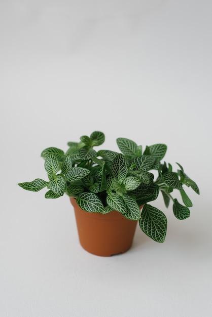 Roślina Doniczkowa Fittonia Ciemnozielona Z Białymi Smugami W Brązowym Garnku Na Białym Tle Premium Zdjęcia