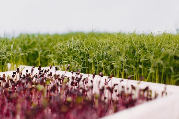 Rosnące Microgreeny Na Tle Stołu. Koncepcja Zdrowego Odżywiania. świeże Produkty Ogrodowe Uprawiane Metodami Ekologicznymi Jako Symbol Zdrowia. Zbliżenie Microgreens. Darmowe Zdjęcia