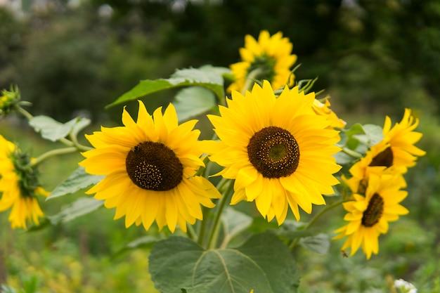 Rosnący Słonecznik. Kwitnące Słoneczniki. Piękne Słonecznikowe Pole. Premium Zdjęcia