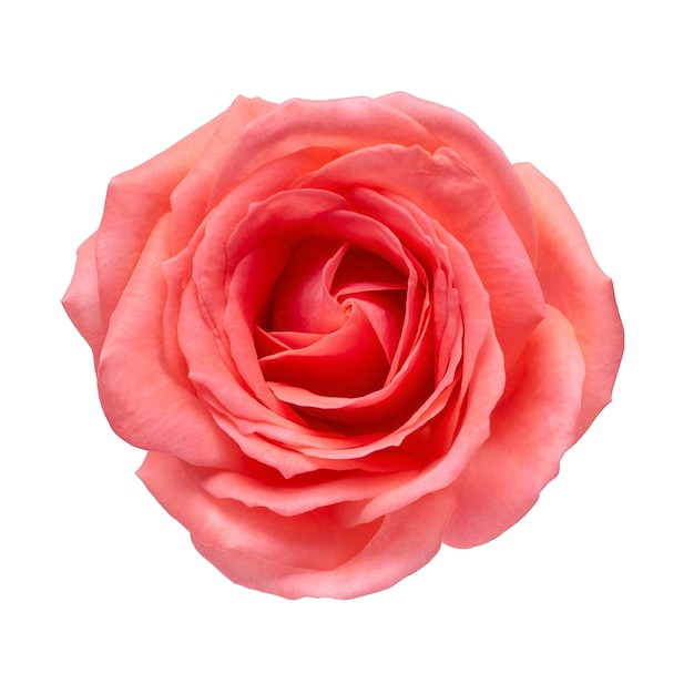 Róża Koralowa Na Na Białym Tle. Premium Zdjęcia