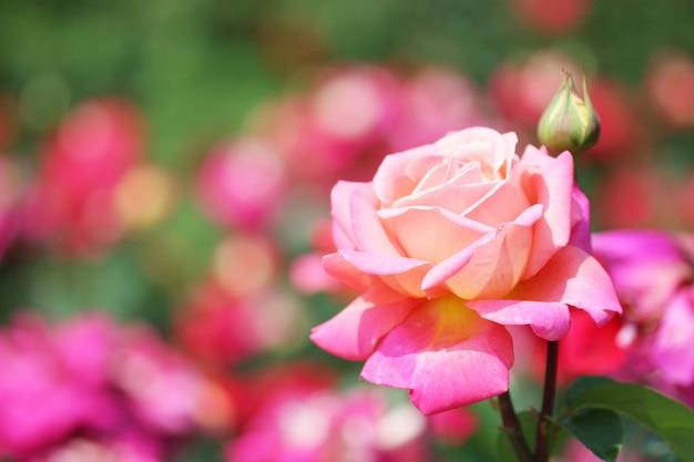 Róża ogrodowa Premium Zdjęcia