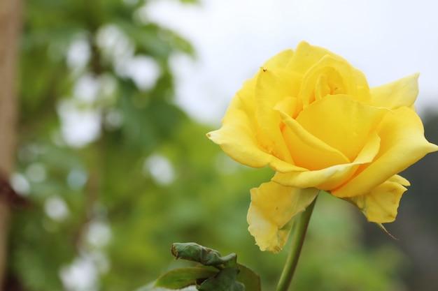 Róża w ogrodzie Premium Zdjęcia