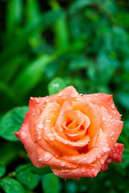 Róża z kroplami wody Premium Zdjęcia