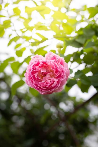 Róże w ogrodzie Premium Zdjęcia