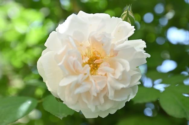 Róże Z Rodzaju Dzikiej Róży Zwanej Rose Odorata Premium Zdjęcia