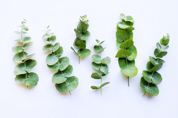 Rozgałęzia Się Eukaliptusa Odizolowywającego Na Bielu Premium Zdjęcia