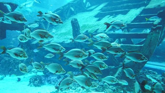Różne Rodzaje Pływających Ryb I Duży Drewniany Zatopiony Statek Premium Zdjęcia