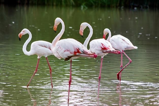 Różowa Flaming Rodzina Umieszczająca Na Wodzie Jezioro. Premium Zdjęcia
