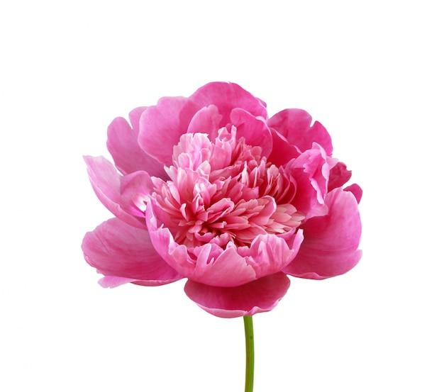 Różowa Peonia Odizolowywająca Na Białym Tle Premium Zdjęcia