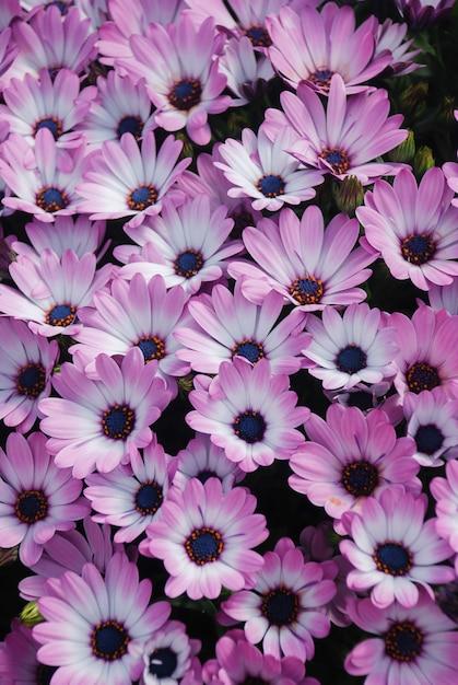 Różowe Kwiaty Osteospermum Lub Dimorphotheca W Kwietniku Premium Zdjęcia
