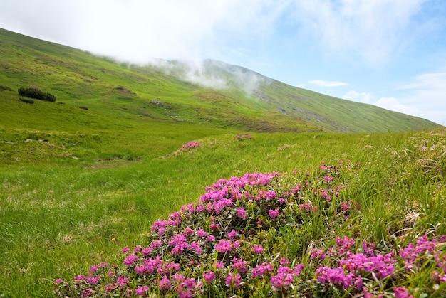 Różowe Kwiaty Rododendronów Na Letnim Zboczu Góry (ukraina, Karpaty) Premium Zdjęcia