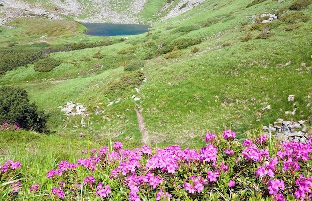 Różowe Kwiaty Rododendronów W Pobliżu Małego Letniego Górskiego Jeziora (ukraina, Karpaty) Premium Zdjęcia