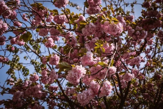 Różowe Kwiaty Zwane Sakura, Tajlandia W Chiang Mai. Premium Zdjęcia