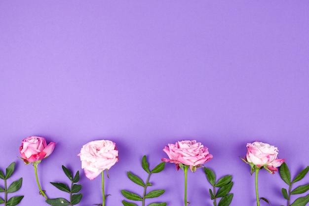 Różowe róże układają na purpurowym tle z rzędu Darmowe Zdjęcia
