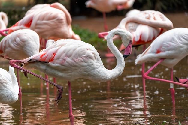 Różowi Flamingi W Parku Narodowym W Brazylia. Premium Zdjęcia