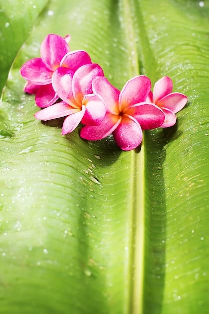 Różowy Frangipani Na Zielonym Palmowego Liścia Tropikalnym Pięknie Premium Zdjęcia
