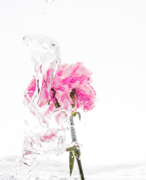 Różowy Goździk Wpada Do Wody Darmowe Zdjęcia