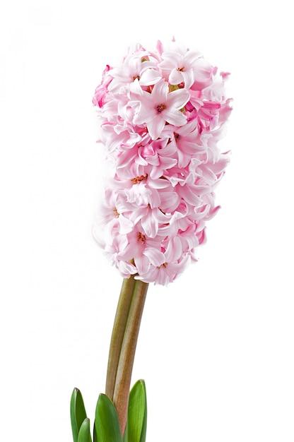 Różowy Hiacynt Na Białym Tle Darmowe Zdjęcia