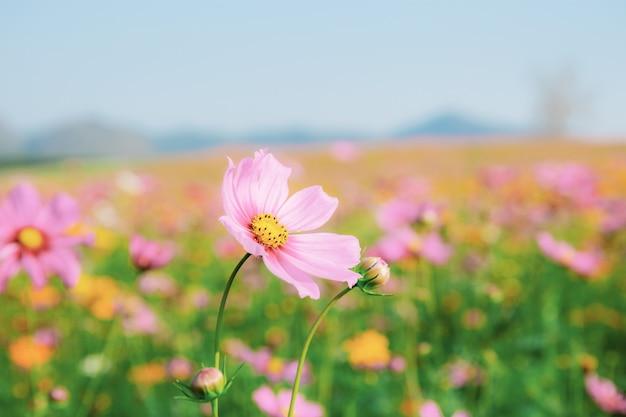 Różowy kosmos w polu. Premium Zdjęcia